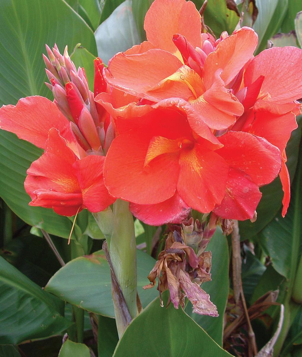 Разновидности канн фото цветы